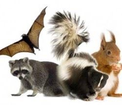 picture of a skunk, squirrel, raccoon and bat